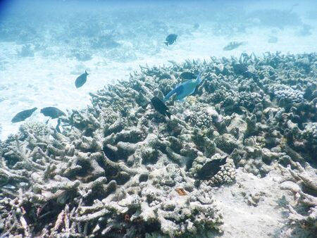 Maldives, tropical fish on the coral reef destroyed by the tsunami and regrowth coral