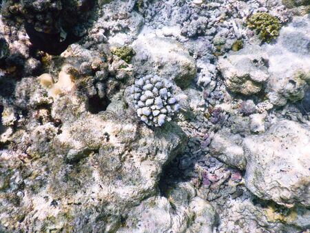 Maldives, a new coral that grows on the barrier destroyed by the 2004 tsunami