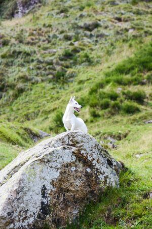 Jack Russell hunting for marmots in their burrows in the Italian Dolomites
