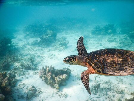 sea turtle on the Maldivian coral reef that swims among placid and peaceful plankton looking for food