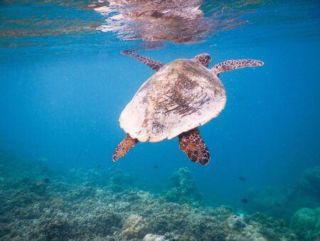 Meeresschildkröte am maledivischen Korallenriff, die auf der Suche nach Nahrung zwischen friedlichem und friedlichem Plankton schwimmt
