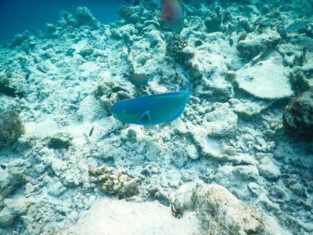 Maldives, plancton et poissons tropicaux près de la vie sous-marine des récifs coralliens en pleine croissance dans sa réalité sans retouche