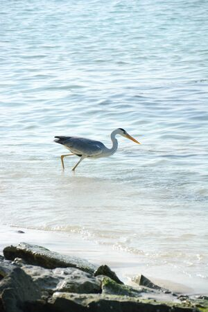 heron on the shores of the tropical sea pointing a bank of sardines to the shore