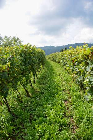vineyard tuscany italy hidden for good wine