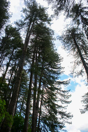 secular mountain pines at the Sila park in Italy Stock fotó