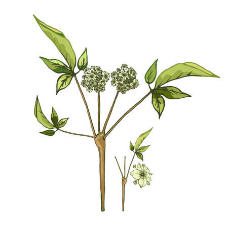 Plant panax ginseng with leaves and flower. Vector color vintage hatching illustration isolated on white background.