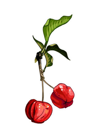 Branch with barbados cherries and leaves. Vector color vintage illustration isolated on white background. 矢量图像