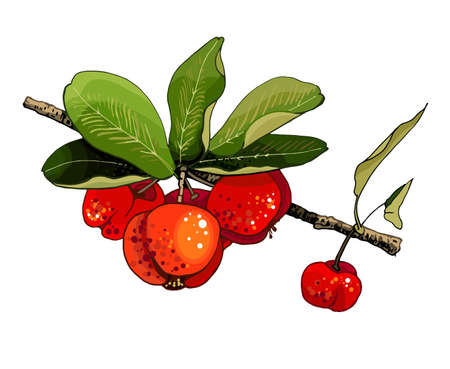 Branch with barbados cherries and leaves. Vector color vintage illustration isolated on white background.