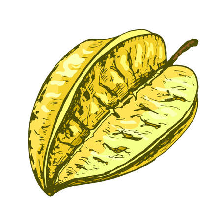 Whole star fruit. Vector color vintage hatching illustration isolated on white 矢量图像