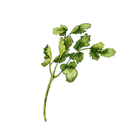 Cilantro fresh green branches and leaves. Vector color vintage hatching illustration isolated on a white background.