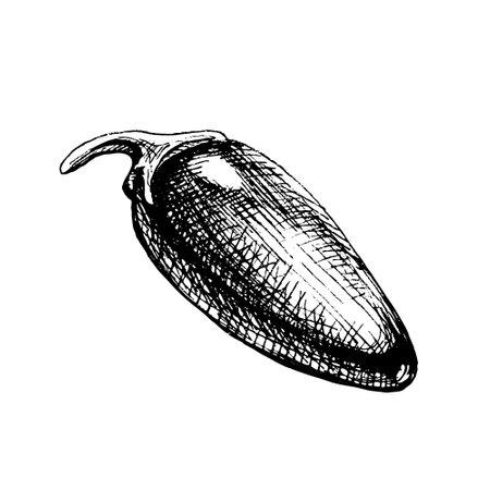 Whole pepper jalapeno. Vector vintage hatching black illustration. Isolated on white background.  イラスト・ベクター素材