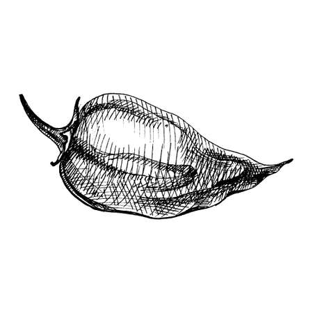 Whole pepper habanero. Vector vintage hatching color illustration. Isolated on white background.  イラスト・ベクター素材