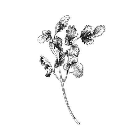 Cilantro branches and leaves. Vector gray vintage hatching illustration isolated