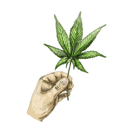 Male hand holding marijuana leaf. Vector color vintage hatching illustration