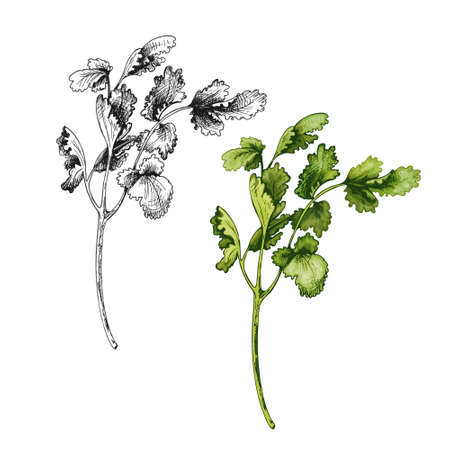 Cilantro fresh green branches and leaves. Vector color vintage hatching illustration isolated on a white background. Vettoriali