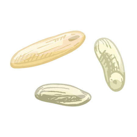 Grains of rice. Vector color vintage hand drawn hatching illustration isolated on a white background.