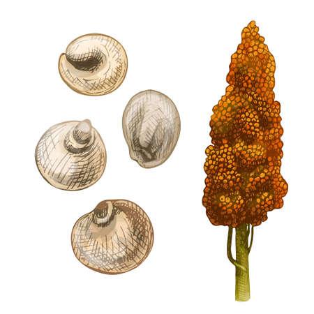 Ears with grain of sorghum. Vector color vintage hand drawn hatching illustration Vektoros illusztráció