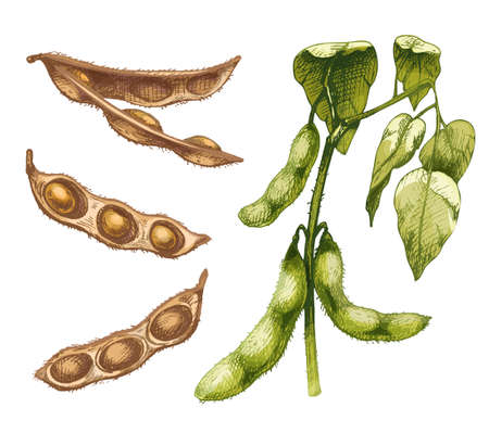 Unripe green fresh soybean pods with leaves and seeds. Vector hatching illustration