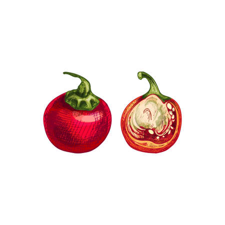Whole and half cherry pepper. Vector vintage hatching color illustration. Isolated on white background. Hand drawn design