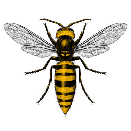 Two-color vector illustration of a Giant Asian Hornet (Murder Hornet) in a vintage style.