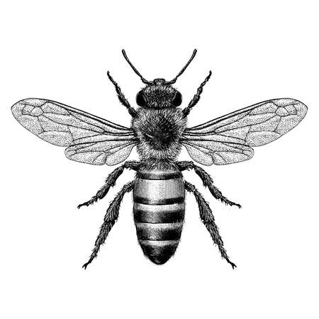 Hand Drawn illustration of a honey bee in a vintage style.