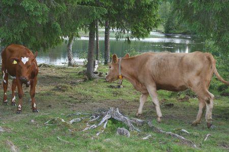 tarn: Heifers by a lake
