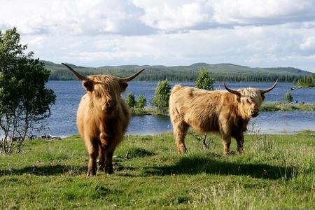 Scottish highland kettle on pasture