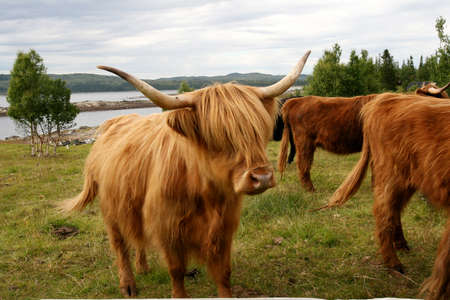 Scottish Highland cattle on pasture