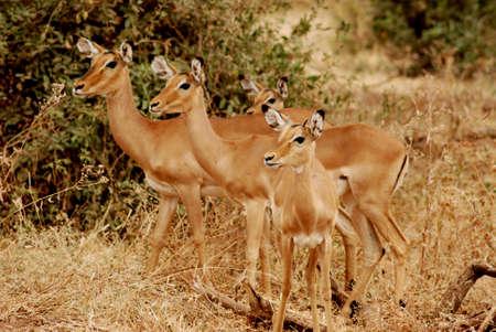 impala: three impala Stock Photo