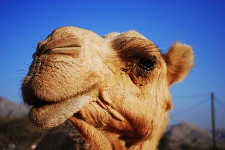 one humped: Arabian Cheeky Camel Stock Photo