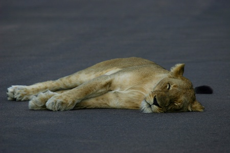 Snooze Time - Lion having sleep in road