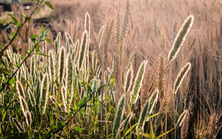 Weeds growing in a field.