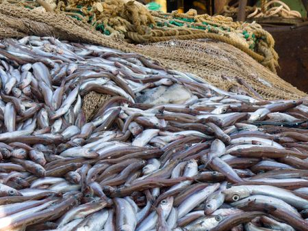 trawl: blue whiting fish on deck factory vessel