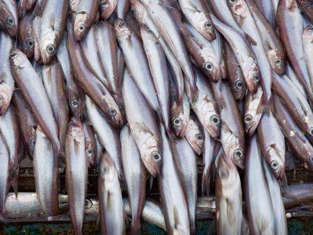 coalfish: blue witing fish on deck factory vessel Stock Photo