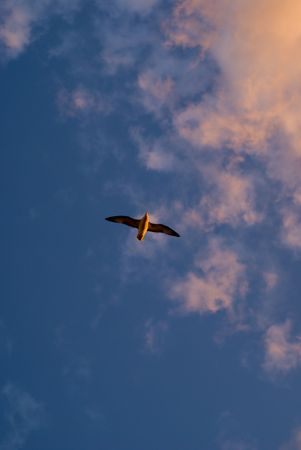 seagull and sunset Stock Photo - 2661781