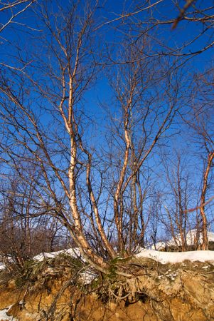 Roots of birch and winter sunlight Stock Photo - 2661809