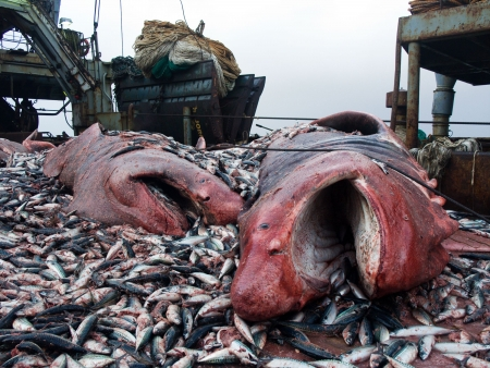 commercial fishing: sharks and crushed mackerel on deck factory vessel