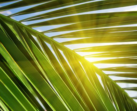 green leaf of palm and sunlight