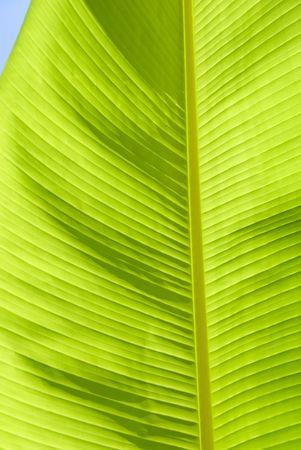 de cultivos de hoja de palma de pl�tano Foto de archivo - 3476175