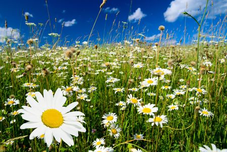 field of daisies and perfect sky Stock Photo - 3476296