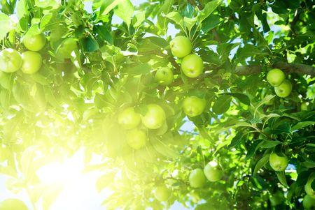 apple tree and green apple