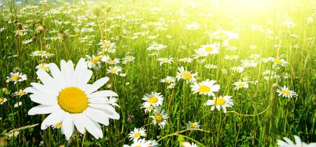 field of daisies and perfect sky Stock Photo - 3868763