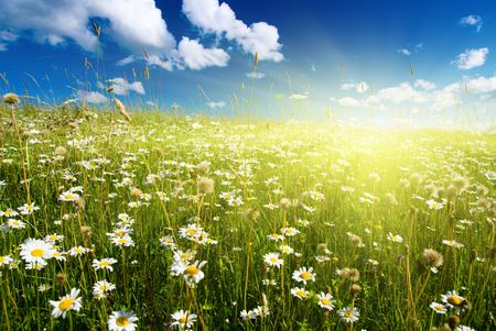 field of daisies and perfect sky Stock Photo - 3868790