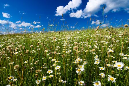 field of daisies and perfect sky Stock Photo - 3881830