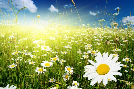 field of daisies and perfect sky Stock Photo - 3881809