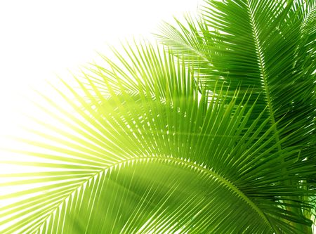 palm fruits: leaves of palm and morning light Stock Photo