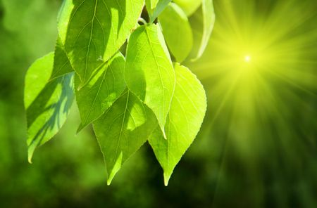 leaves of poplar and sunlight photo