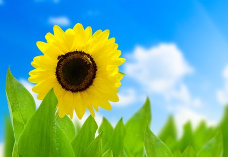 sunflower and perfect day Stock Photo - 5132285