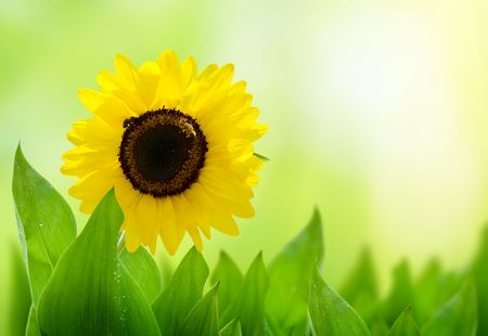 sunflower and perfect day Stock Photo - 5190987