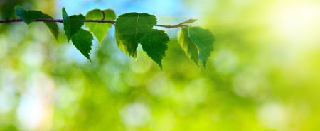 leaves of birch in deep forest photo